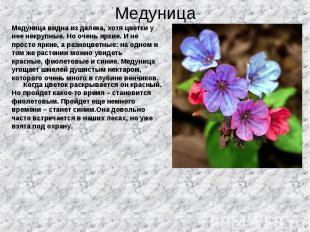 Медуница видна из далека, хотя цветки у Медуница видна из далека, хотя цветки у
