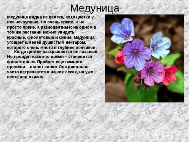 Медуница видна из далека, хотя цветки у Медуница видна из далека, хотя цветки у нее некрупные. Но очень яркие. И не просто яркие, а разноцветные: на одном и том же растении можно увидеть красные, фиолетовые и синие. Медуница угощает шмелей душистым …