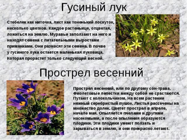 Стебелек как ниточка, лист как тоненький лоскуток, Стебелек как ниточка, лист как тоненький лоскуток, несколько цветков. Каждое растеньице, отцветая, ложиться на землю. Муравьи заползают на него и находят семена с питательными выростами приманками. …