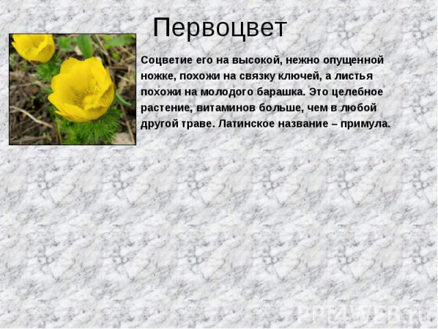 Соцветие его на высокой, нежно опущенной Соцветие его на высокой, нежно опущенной ножке, похожи на связку ключей, а листья похожи на молодого барашка. Это целебное растение, витаминов больше, чем в любой другой траве. Латинское название – примула.