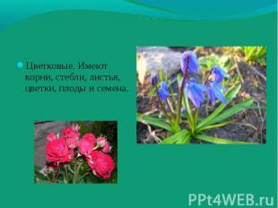 Цветковые. Имеют корни, стебли, листья, цветки, плоды и семена. Цветковые. Имеют