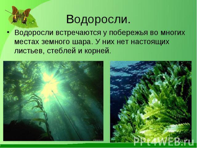 Водоросли встречаются у побережья во многих местах земного шара. У них нет настоящих листьев, стеблей и корней. Водоросли встречаются у побережья во многих местах земного шара. У них нет настоящих листьев, стеблей и корней.
