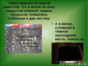Через неделю( 29 марта) заметили, что в миске на окне, накрытой плёнкой, семена
