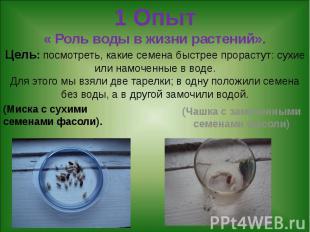 1 Опыт « Роль воды в жизни растений». Цель: посмотреть, какие семена быстрее про