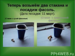 Теперь возьмём два стакана и посадим фасоль. (Дата посадки: 11 март). (Стакан с
