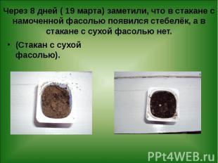 Через 8 дней ( 19 марта) заметили, что в стакане с намоченной фасолью появился с