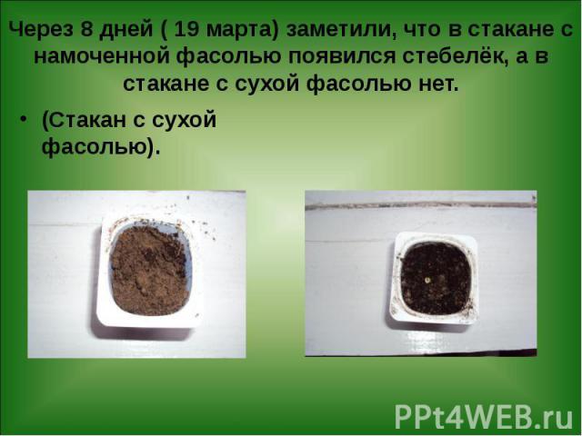 Через 8 дней ( 19 марта) заметили, что в стакане с намоченной фасолью появился стебелёк, а в стакане с сухой фасолью нет. (Стакан с сухой фасолью).