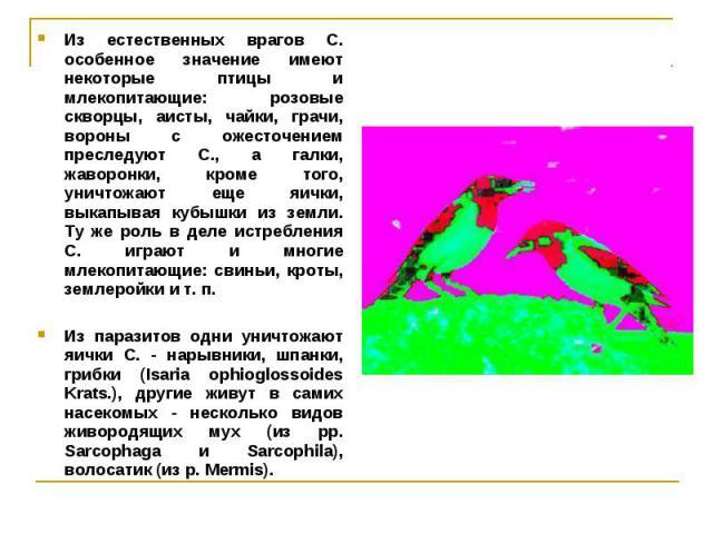 Из естественных врагов С. особенное значение имеют некоторые птицы и млекопитающие: розовые скворцы, аисты, чайки, грачи, вороны с ожесточением преследуют С., а галки, жаворонки, кроме того, уничтожают еще яички, выкапывая кубышки из земли. Ту же ро…