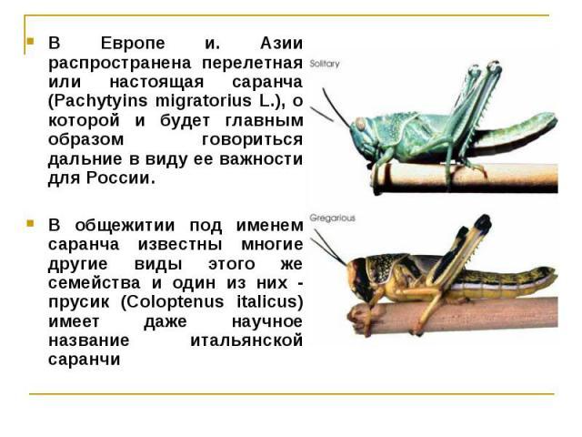 В Европе и. Азии распространена перелетная или настоящая саранча (Pachytyins migratorius L.), о которой и будет главным образом говориться дальние в виду ее важности для России. В Европе и. Азии распространена перелетная или настоящая саранча (Pachy…