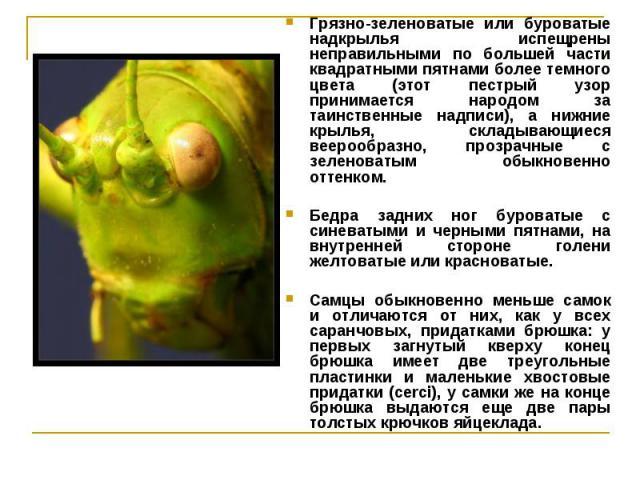 Грязно-зеленоватые или буроватые надкрылья испещрены неправильными по большей части квадратными пятнами более темного цвета (этот пестрый узор принимается народом за таинственные надписи), а нижние крылья, складывающиеся веерообразно, прозрачные с з…