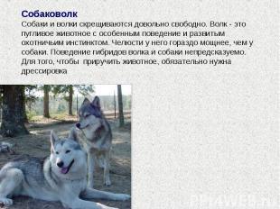 Собаковолк Собаки и волки скрещиваются довольно свободно. Волк - это пугливое жи