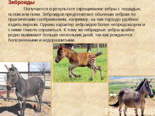 Зеброиды Получаются в результате скрещивание зебры с лошадью, ослом или пони. Зе