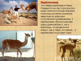 Верблюлама Это гибрид верблюда и ламы. Рождаются на свет в результате искусствен