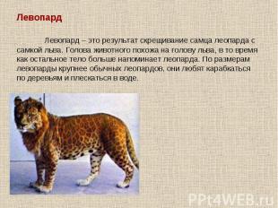 Левопард Левопард – это результат скрещивание самца леопарда с самкой льва. Голо