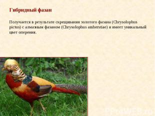 Гибридный фазан Получается в результате скрещивания золотого фазана (Chrysolophu