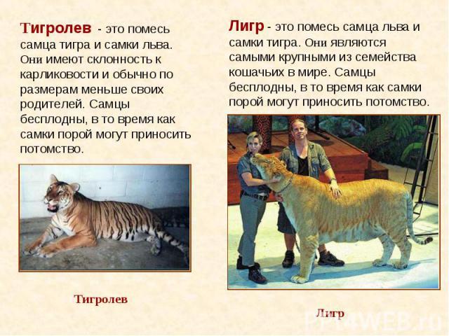 Лигр - это помесь самца льва и самки тигра. Они являются самыми крупными из семейства кошачьих в мире. Самцы бесплодны, в то время как самки порой могут приносить потомство.
