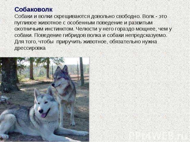 Собаковолк Собаки и волки скрещиваются довольно свободно. Волк - это пугливое животное с особенным поведение и развитым охотничьим инстинктом. Челюсти у него гораздо мощнее, чем у собаки. Поведение гибридов волка и собаки непредсказуемо. Для того, ч…