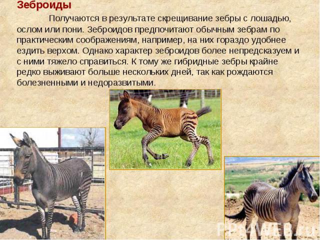 Зеброиды Получаются в результате скрещивание зебры с лошадью, ослом или пони. Зеброидов предпочитают обычным зебрам по практическим соображениям, например, на них гораздо удобнее ездить верхом. Однако характер зеброидов более непредсказуем и с ними …