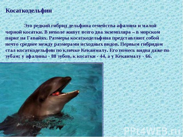 Косаткодельфин Это редкий гибрид дельфина семейства афалина и малой черной косатки. В неволе живут всего два экземпляра – в морском парке на Гавайях. Размеры косаткодельфина представляют собой нечто среднее между размерами исходных видов. Первым гиб…