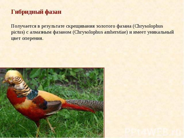 Гибридный фазан Получается в результате скрещивания золотого фазана (Chrysolophus pictus) с алмазным фазаном (Chrysolophus amherstiae) и имеет уникальный цвет оперения.