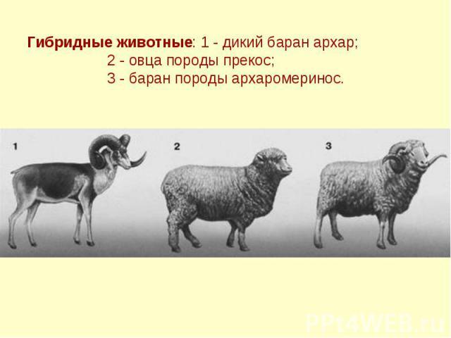 Гибридные животные: 1 - дикий баран архар; 2 - овца породы прекос; 3 - баран породы архаромеринос.