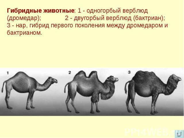 Гибридные животные: 1 - одногорбый верблюд (дромедар); 2 - двугорбый верблюд (бактриан); 3 - нар, гибрид первого поколения между дромедаром и бактрианом.