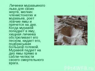 Личинки муравьиного льва для своих жертв, мелких членистоногих и муравьев, роет