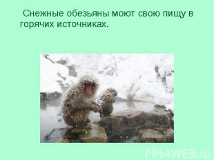 Снежные обезьяны моют свою пищу в горячих источниках. Снежные обезьяны моют свою