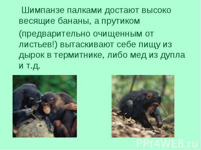 Шимпанзе палками достают высоко весящие бананы, а прутиком Шимпанзе палками достают высоко весящие бананы, а прутиком (предварительно очищенным от листьев!) вытаскивают себе пищу из дырок в термитнике, либо мед из дупла и т.д.