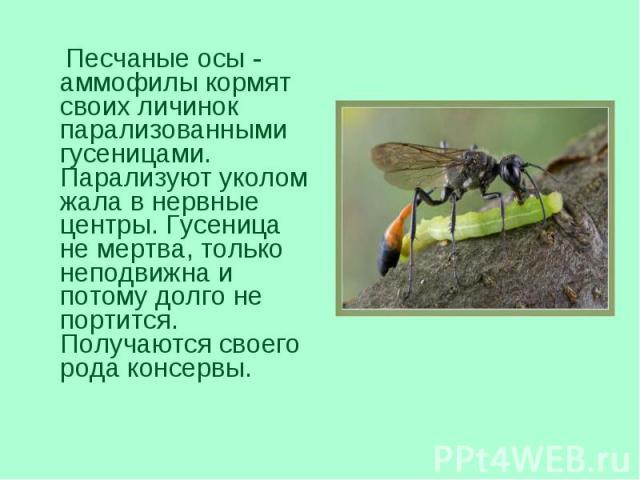 Песчаные осы - аммофилы кормят своих личинок парализованными гусеницами. Парализуют уколом жала в нервные центры. Гусеница не мертва, только неподвижна и потому долго не портится. Получаются своего рода консервы. Песчаные осы - аммофилы кормят своих…