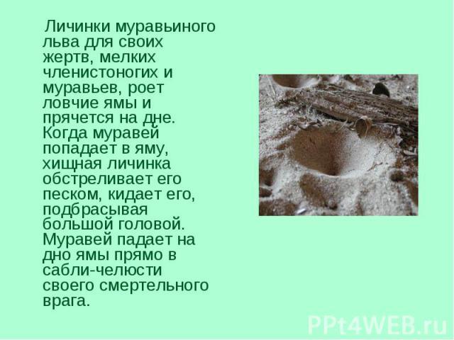 Личинки муравьиного льва для своих жертв, мелких членистоногих и муравьев, роет ловчие ямы и прячется на дне. Когда муравей попадает в яму, хищная личинка обстреливает его песком, кидает его, подбрасывая большой головой. Муравей падает на дно ямы пр…