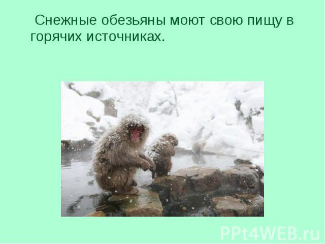 Снежные обезьяны моют свою пищу в горячих источниках. Снежные обезьяны моют свою пищу в горячих источниках.