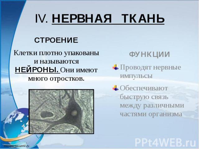 IV. НЕРВНАЯ ТКАНЬ СТРОЕНИЕ Клетки плотно упакованы и называются НЕЙРОНЫ. Они имеют много отростков.