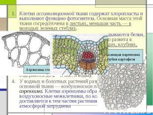 Клетки ассимиляционной ткани содержат хлоропласты и выполняют функцию фотосинтез