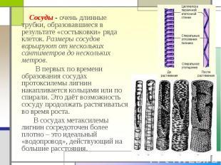 Сосуды - очень длинные трубки, образовавшиеся в результате «состыковки» ряда кле