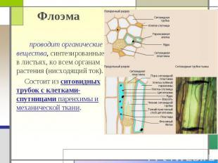 Флоэма проводит органические вещества, синтезированные в листьях, ко всем органа