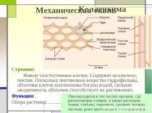 Механическая ткань Строение: Живые толстостенные клетки. Содержат целлюлозу, пек