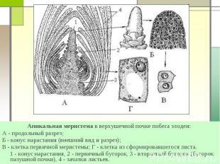 Апикальная меристема в верхушечной почке побега элодеи: Апикальная меристема в в