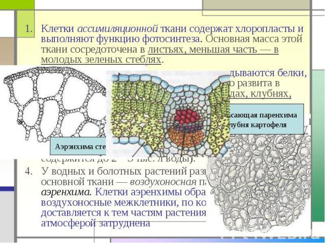 Клетки ассимиляционной ткани содержат хлоропласты и выполняют функцию фотосинтеза. Основная масса этой ткани сосредоточена в листьях, меньшая часть — в молодых зеленых стеблях. Клетки ассимиляционной ткани содержат хлоропласты и выполняют функцию фо…