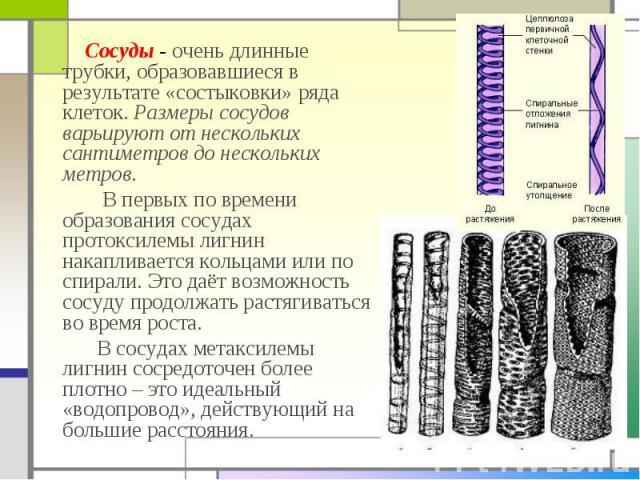 Сосуды - очень длинные трубки, образовавшиеся в результате «состыковки» ряда клеток. Размеры сосудов варьируют от нескольких сантиметров до нескольких метров. Сосуды - очень длинные трубки, образовавшиеся в результате «состыковки» ряда клеток. Разме…