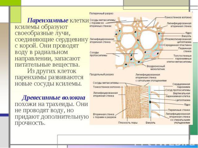 Паренхимные клетки ксилемы образуют своеобразные лучи, соединяющие сердцевину с корой. Они проводят воду в радиальном направлении, запасают питательные вещества. Из других клеток паренхимы развиваются новые сосуды ксилемы. Паренхимные клетки ксилемы…