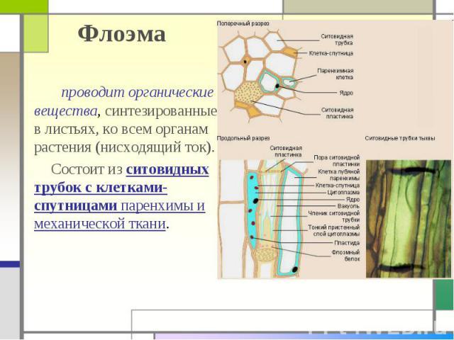 Флоэма проводит органические вещества, синтезированные в листьях, ко всем органам растения (нисходящий ток). Состоит из ситовидных трубок с клетками-спутницами паренхимы и механической ткани.