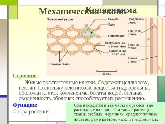Механическая ткань Строение: Живые толстостенные клетки. Содержат целлюлозу, пектин. Поскольку пектиновые вещества гидрофильны, оболочки клеток колленхимы богаты водой, сильная оводненность оболочек способствует их растяжению. Функция: Опора растения