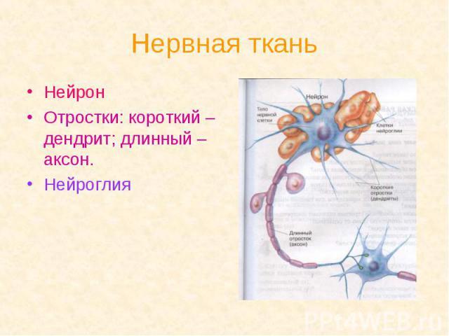 Нервная ткань Нейрон Отростки: короткий – дендрит; длинный – аксон. Нейроглия