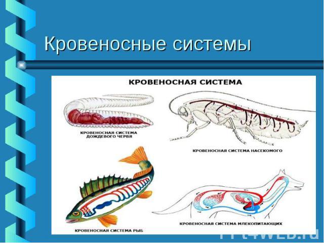 Кровеносные системы