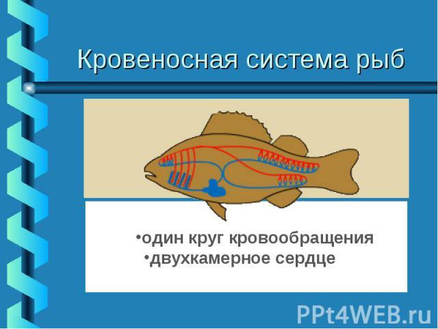 Кровеносная система рыб