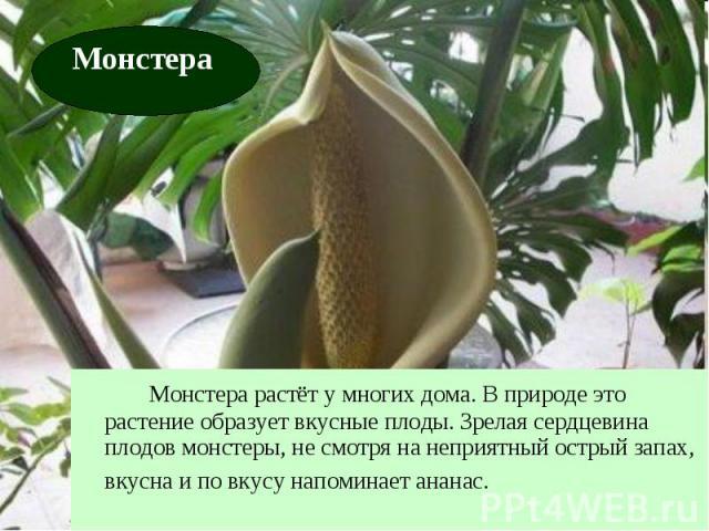 Монстера растёт у многих дома. В природе это растение образует вкусные плоды. Зрелая сердцевина плодов монстеры, не смотря на неприятный острый запах, вкусна и по вкусу напоминает ананас.