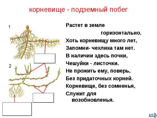 Растет в земле Растет в земле горизонтально. Хоть корневищу много лет, Запомни- чехлика там нет. В наличии здесь почки, Чешуйки - листочки. Не прожить ему, поверь, Без придаточных корней. Корневище, без сомненья, Служит для возобновленья.