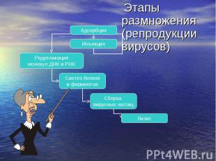 Этапы размножения (репродукции вирусов) Этапы размножения (репродукции вирусов)