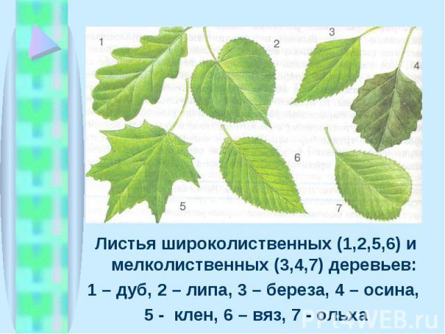 Листья широколиственных (1,2,5,6) и мелколиственных (3,4,7) деревьев: Листья широколиственных (1,2,5,6) и мелколиственных (3,4,7) деревьев: 1 – дуб, 2 – липа, 3 – береза, 4 – осина, 5 - клен, 6 – вяз, 7 - ольха